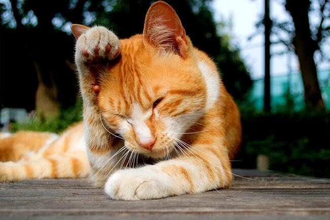 1800ss_thinkstock_rf_tabby_cat_rubbing_head